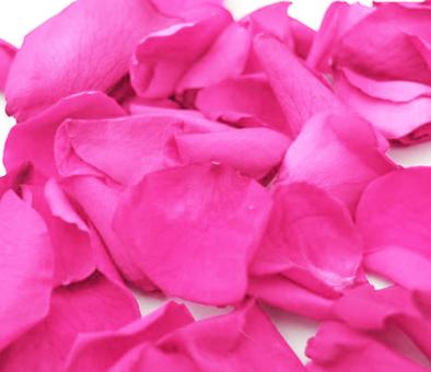 Hot-pink-rose-petals